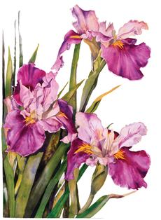 Louisiana Iris